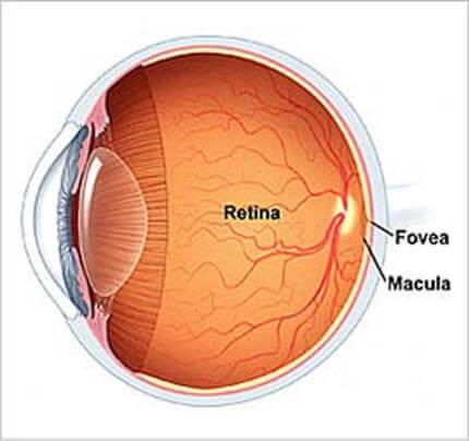 En el fondo de ojo podemos observar la retina, y el centro de la mejor visión llamado Mácula.