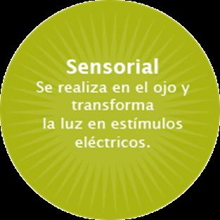 La retina es la encargada de transformar los estímulos luminosos en impulsos nerviosos eléctricos que son transmitidos hasta el cerebro.