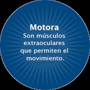 Los músculos extraoculares nos permiten el movimiento del ojo en varias direcciones para enfocar una imagen.