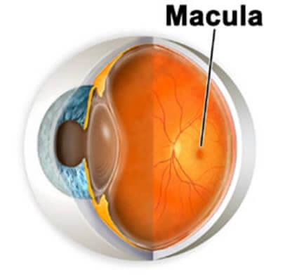 La mácula es el centro de la retina y es la responsable por la visión de detalles y colores.